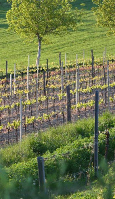 Weingarten Frühjahr Weingut SP.ratsch