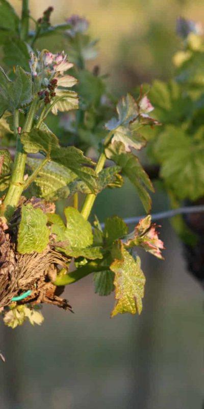 Junger Weingarten Weingut S. Pratsch